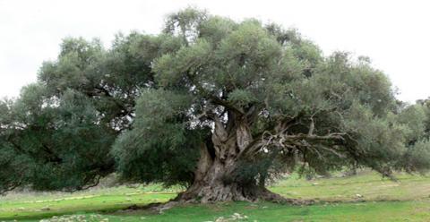 Olife Saft aus Olivenblättern